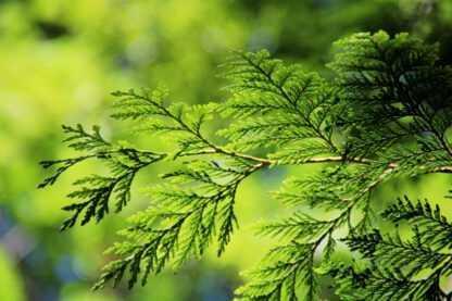 Arborvitae dōTERRA 5ml (Thuja plicata)